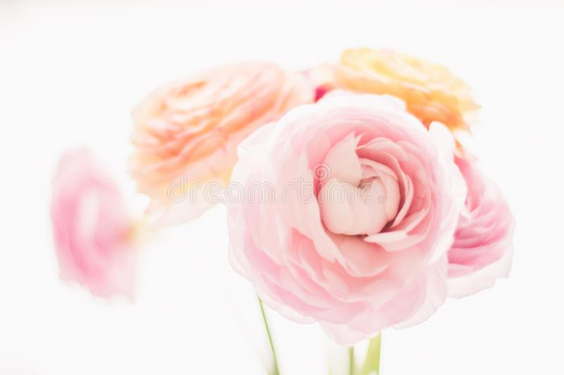 Pink rose flowers from the garden - wedding, holiday and floral garden styled concept. Elegant visuals stock photo