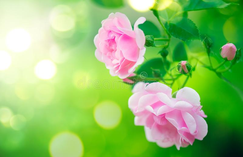 Pink rose flowers. Roses blooming growing in summer garden stock photo