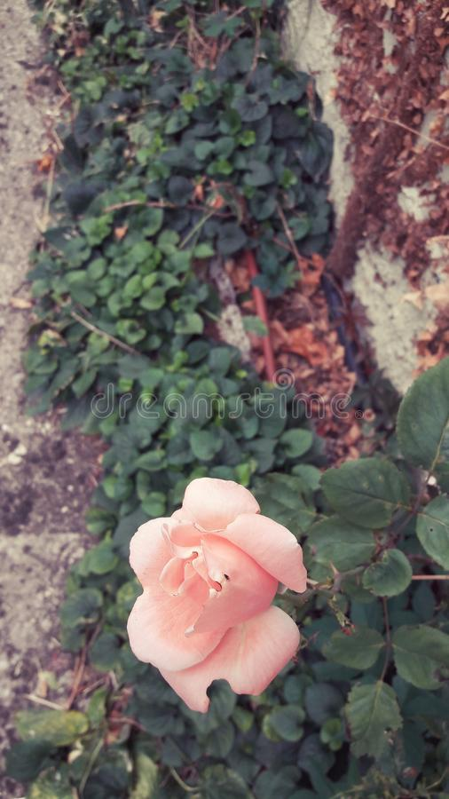 A pink rose with a fly in the garden. Leaves stock images