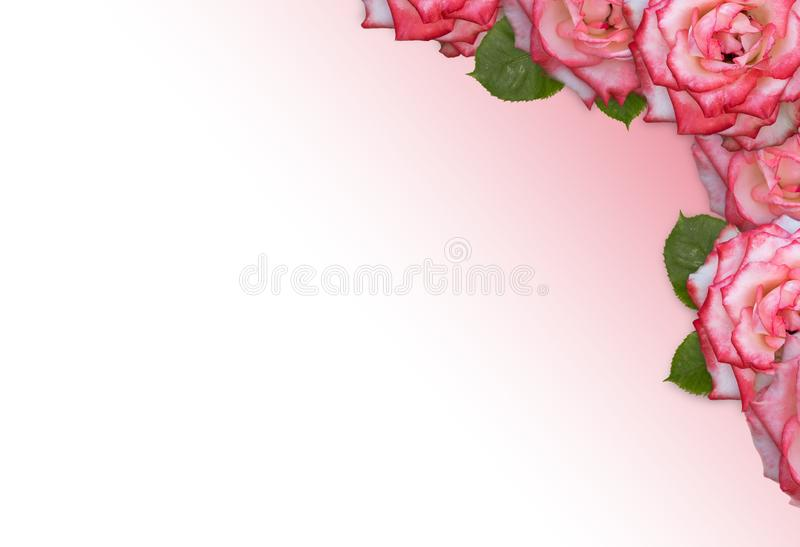 Pink rose frame isolated on pink gradient background stock photo