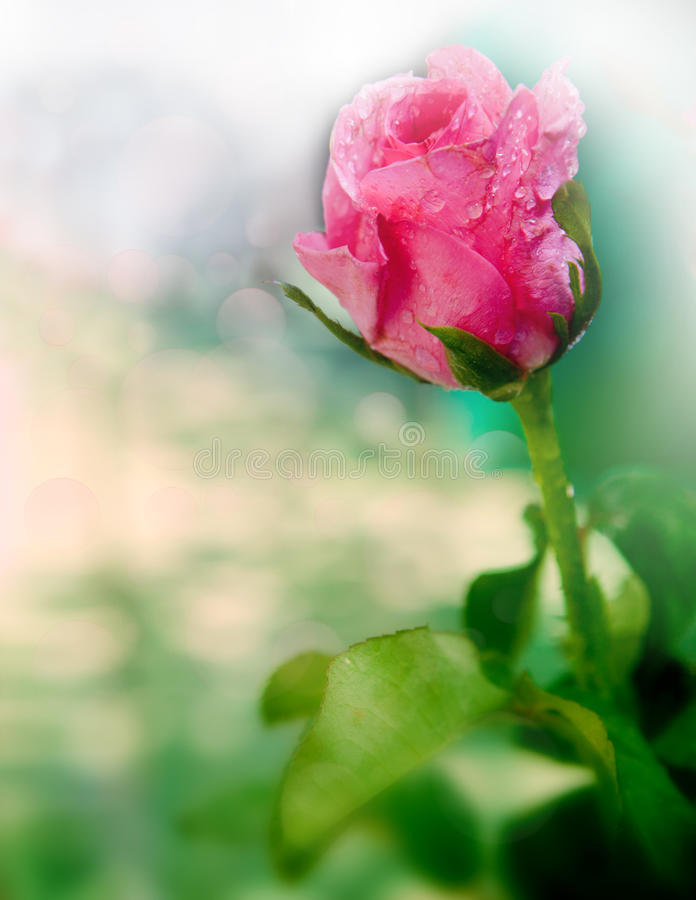 Pink rose with fresh water dew shallow depth of fi