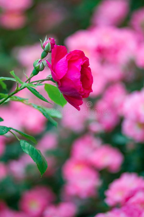 Pink rose in the garden against roses. The Pink rose in the garden against roses royalty free stock photography