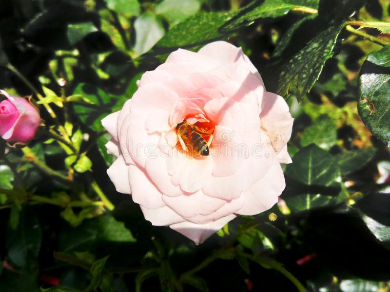 Pink rose in the garden with bee inside. Beautiful pink rose flower in the garden with a bee working inside royalty free stock photo