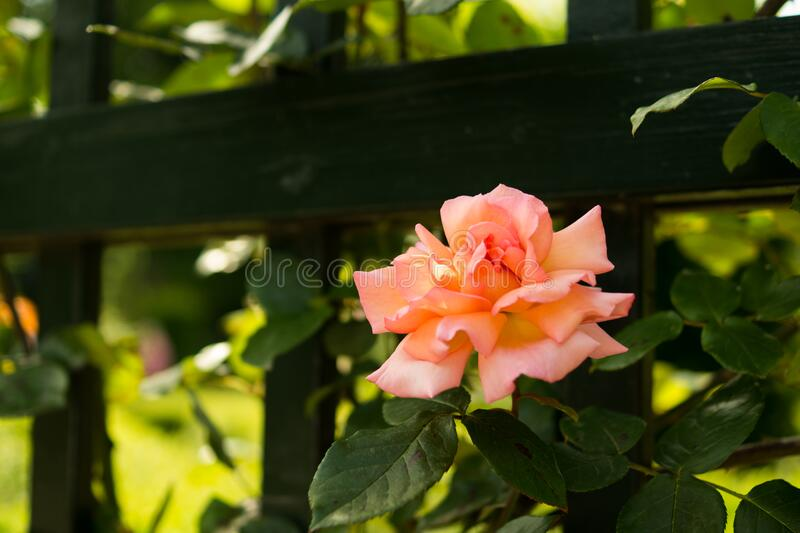 Pink rose in garden royalty free stock photos