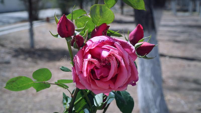 Pink rose in the garden with close up shot royalty free stock image