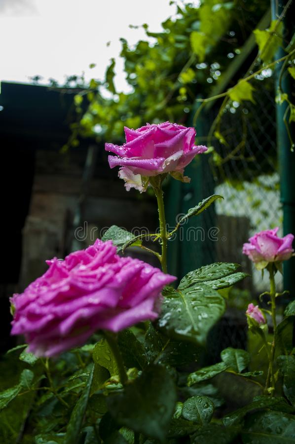 Pink rose in the garden. stock images
