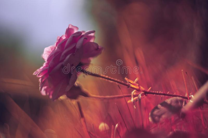 Pink rose in the grass stock photos