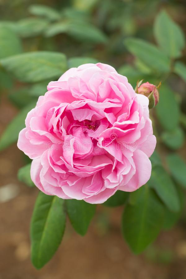 A pink rose in green garden. Top view of pink rose in petals and pollens detail in garden royalty free stock image