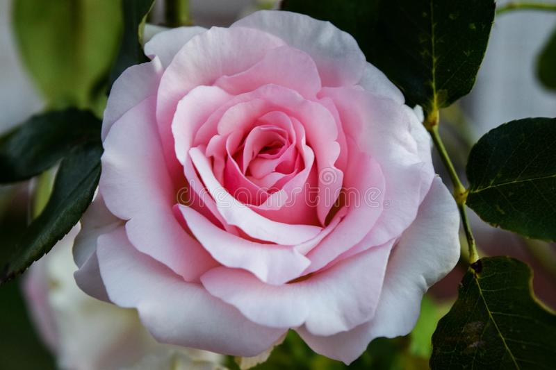 Pink rose with green leaves stock photography