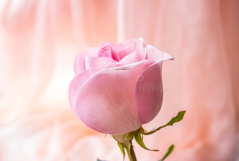 Pink rose with green leaves on pink fabric background. Beautiful pink rose with green leaves on pink fabric background stock images