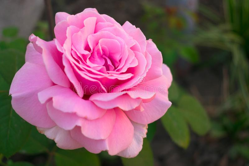 A pink rose has blossomed in the garden in the garden. Rose has blossomed in the garden in the garden stock photo