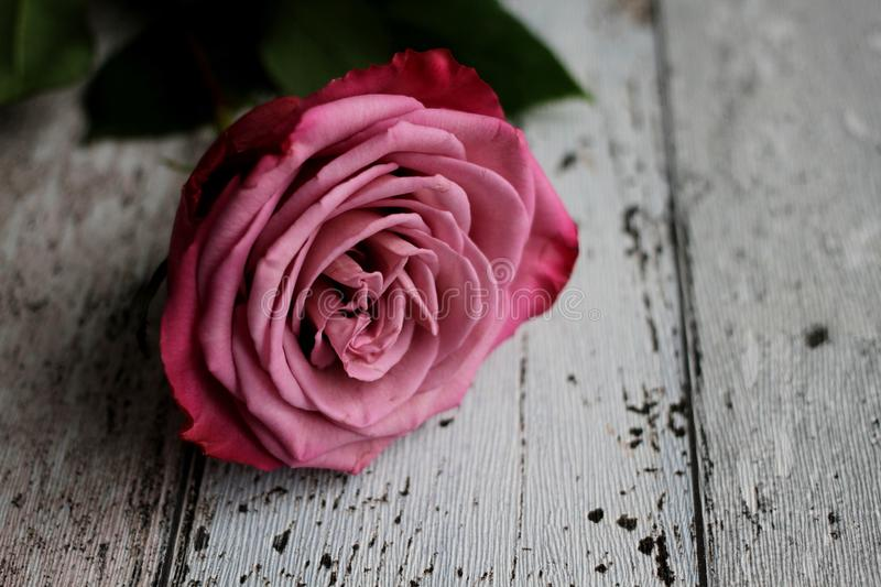 Pink rose with leaves on wooden background royalty free stock photo