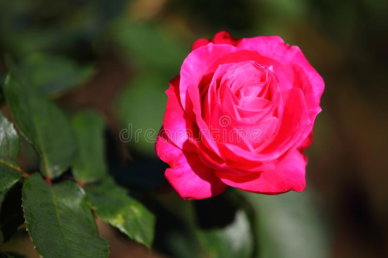 Pink rose floribunda Hybrid Tea in sunlight royalty free stock images