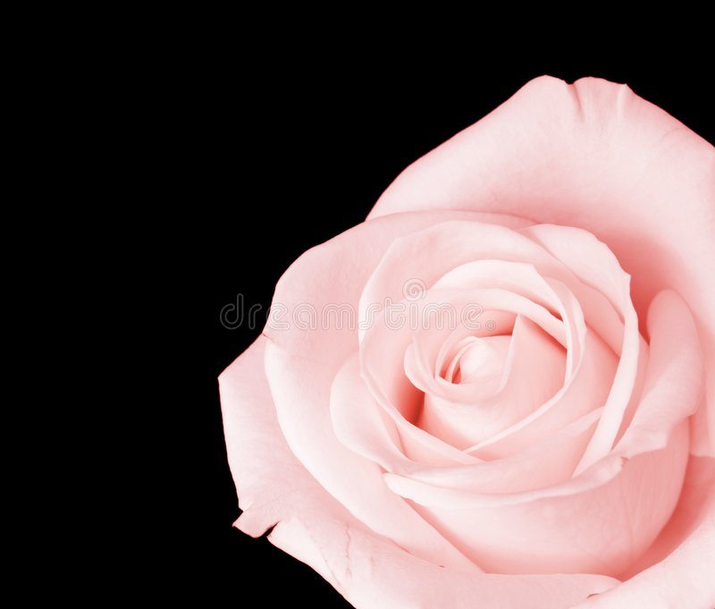 Pink rose isolated royalty free stock photos