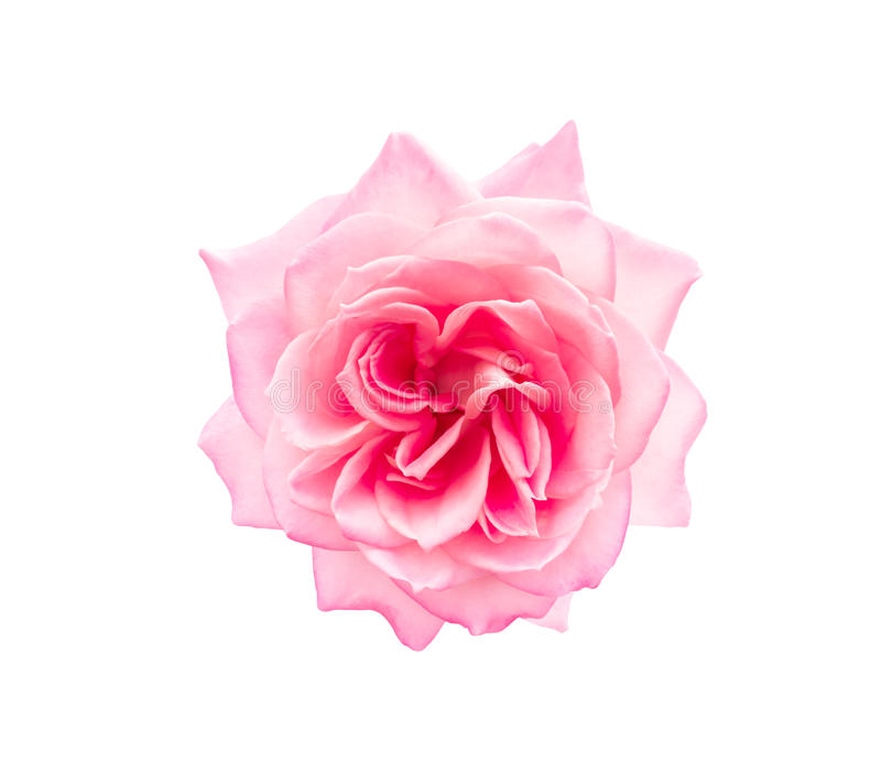 Pink rose isolated. Top view of pink rose isolated on white background stock photography