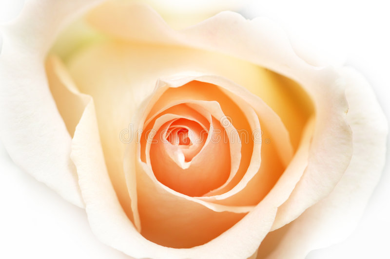 Download Pink Rose Isolated  On The White Background Stock Photo - Image: 5921450