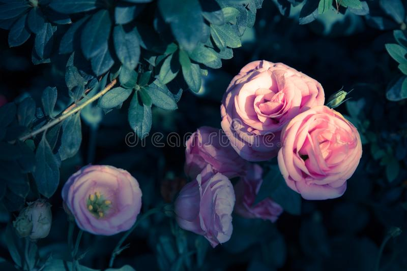 Pink rose and leaf on vintage tone low key for valentines and lo royalty free stock photo