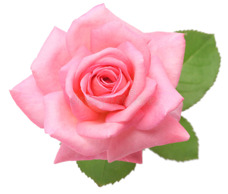 Pink rose with leaves. Isolated on white background