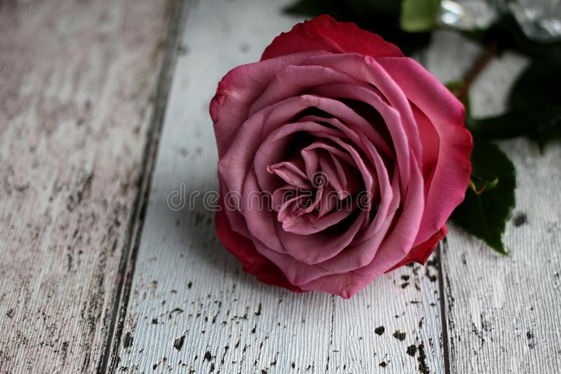 Pink rose with leaves on wooden background stock photography