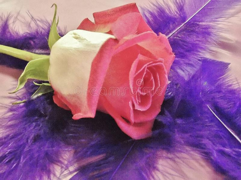 Pink rose with purple feathers royalty free stock photo