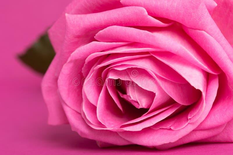 Pink rose on magenta