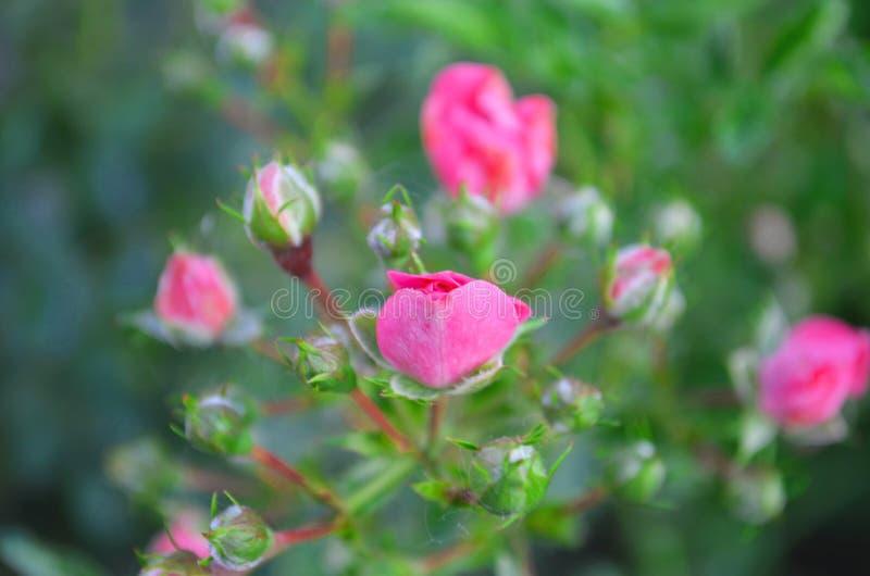 pink rose Natur sommar arkivbild