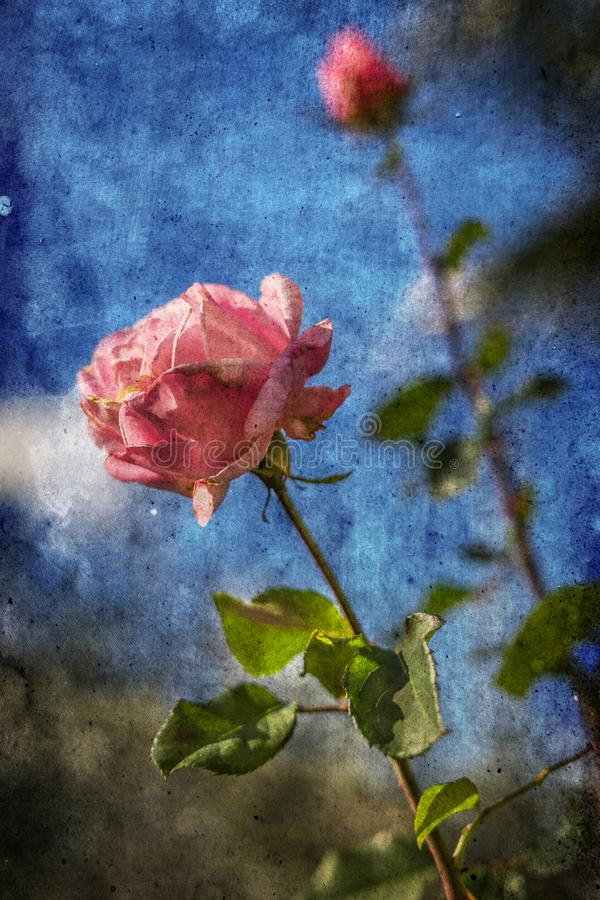 Pink rose over blue sky. Nature textured background