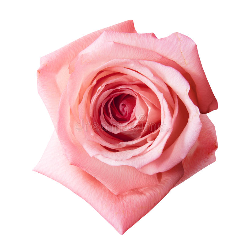 Pink rose with path. Pink rose flower with path isolated on the white background stock photography