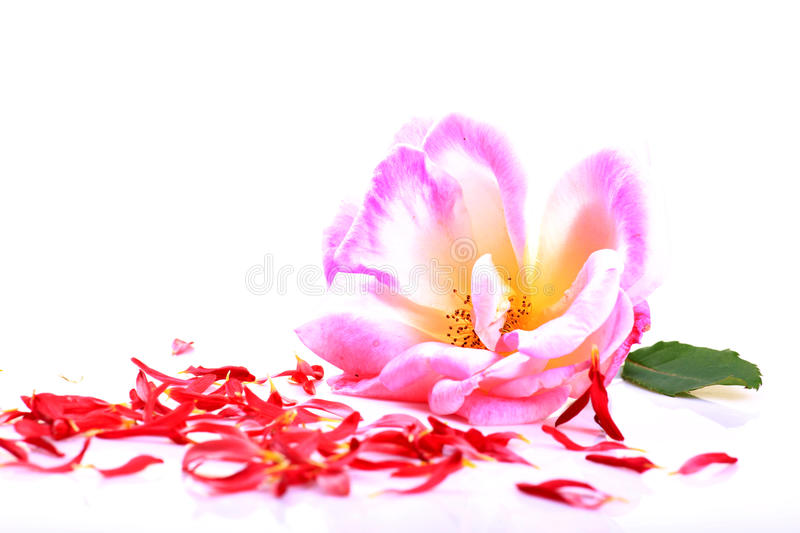 Download Pink Rose And Petals Royalty Free Stock Images - Image: 28306229