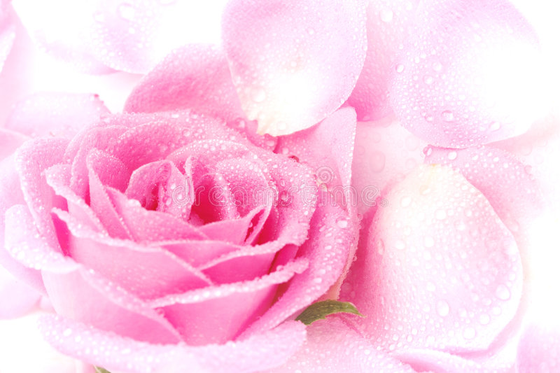 Pink Rose Petals. A background of pink rose and petals on a white surface royalty free stock photo