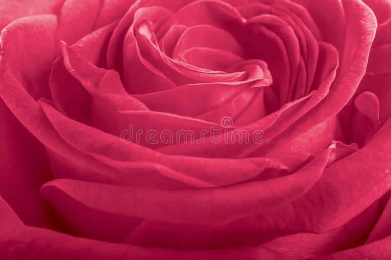 Pink rose petals as background royalty free stock photo