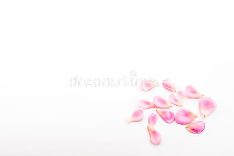 Pink rose petals group on white background. For copy space text stock image