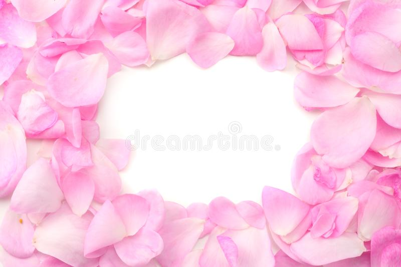 Pink rose petals isolated on white background. top view royalty free stock images