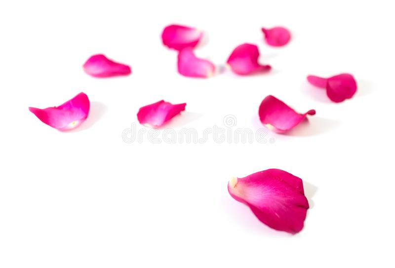 Pink rose petals isolated on white background for valentine`s day or romantic event royalty free stock photos