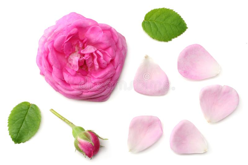 pink rose petals with pink rose flower head isolated on white background. top view royalty free stock images