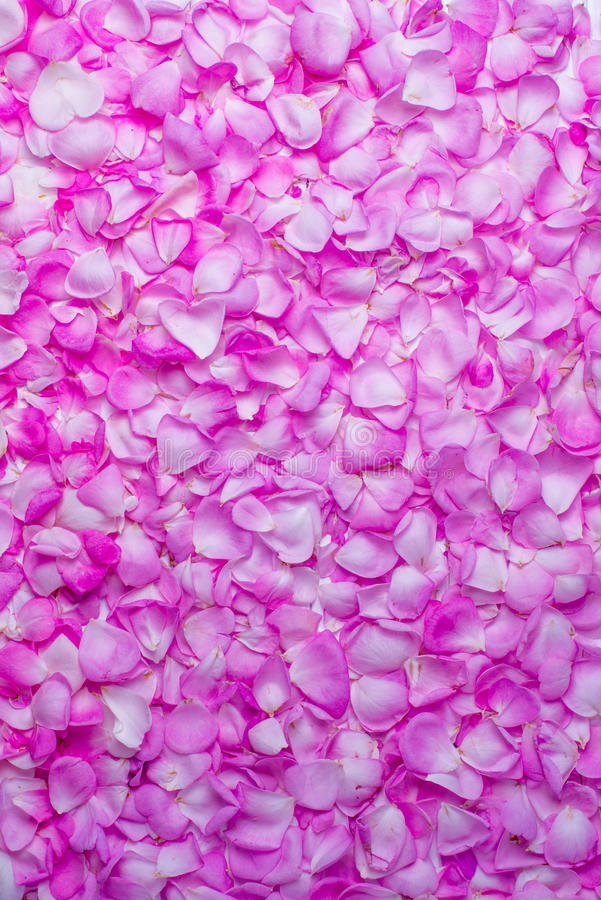 Pink rose petals. Valentine`s day background. Flat lay, top view royalty free stock photos