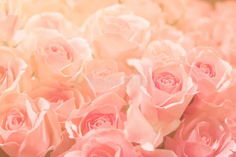Pink rose on pink background, in soft and blur filter for background. stock images