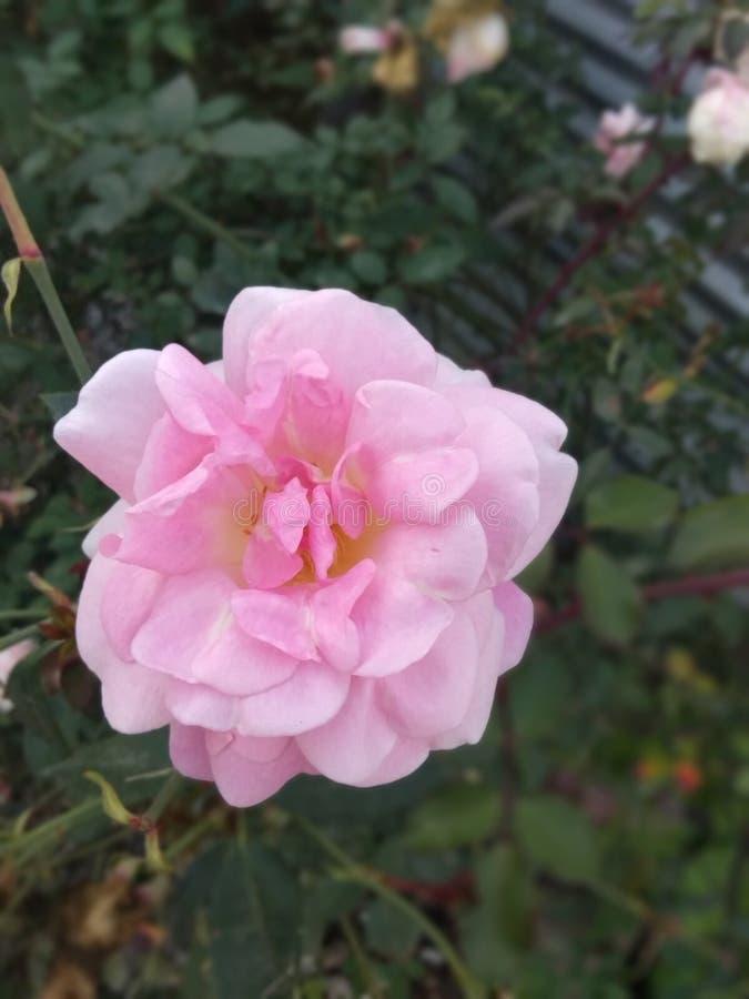 Pink Rose Pretty stock photos