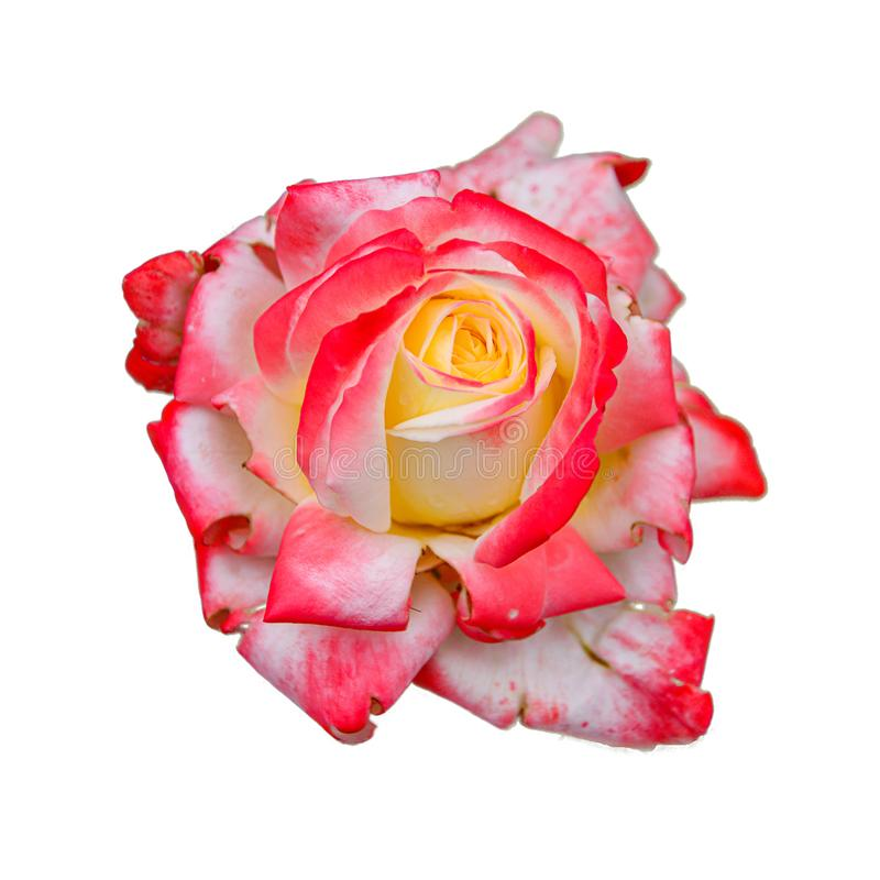 Pink rose after rain isolated on a white background. Natural beautiful flower for postcards and project. Concept: holiday and love stock images