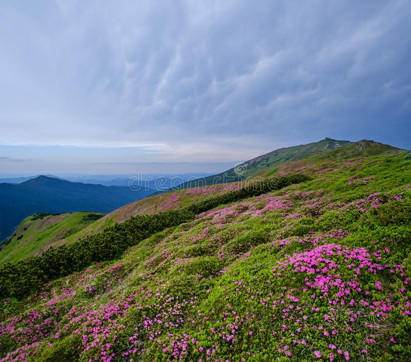 Pink rose rhododendron flowers on summer mountain slope stock images