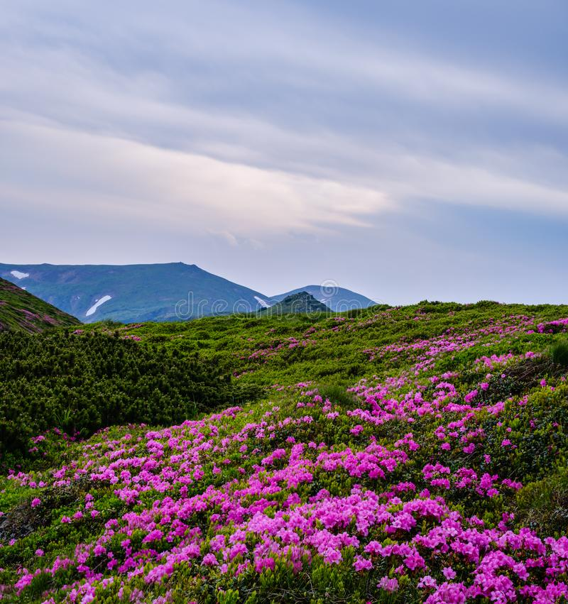 Pink rose rhododendron flowers on summer mountain slope royalty free stock images