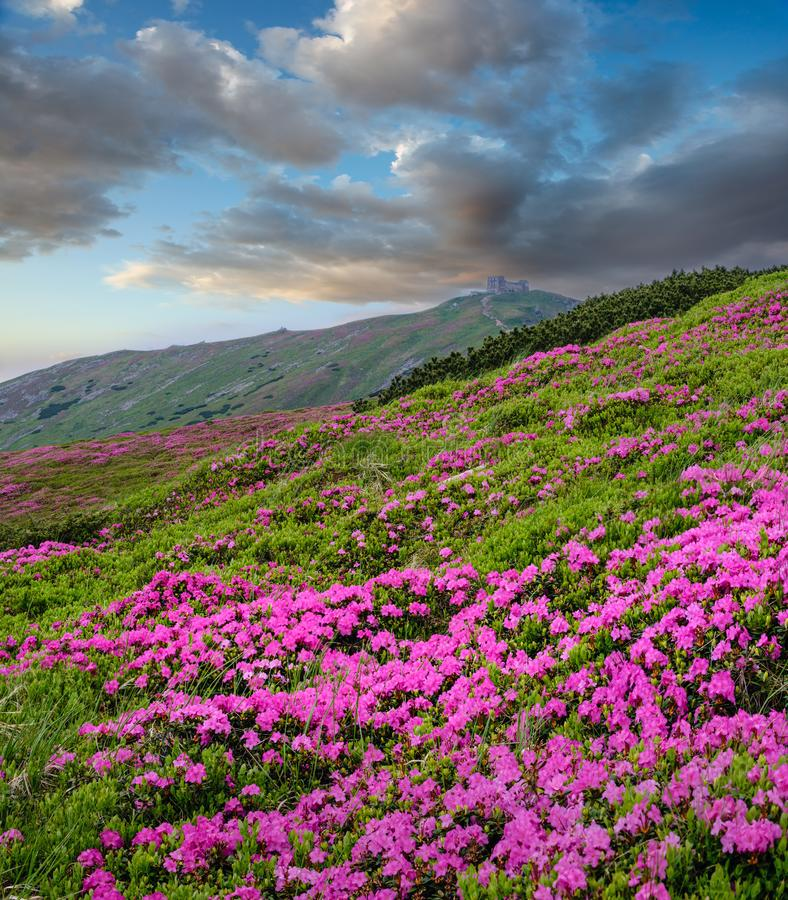Pink rose rhododendron flowers on summer mountain slope stock photo