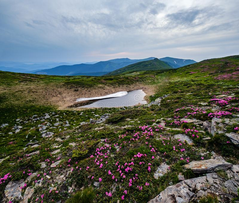 Pink rose rhododendron flowers on summer mountain slope royalty free stock image