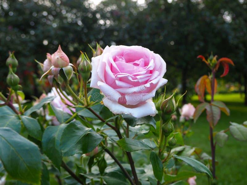 Pink rose Rosa odorata, also called tea rose on a green bush stock photo