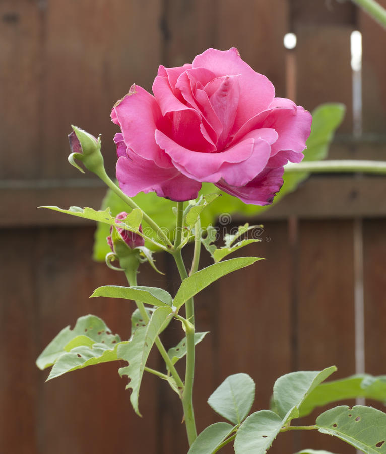 The pink rose royalty free stock images