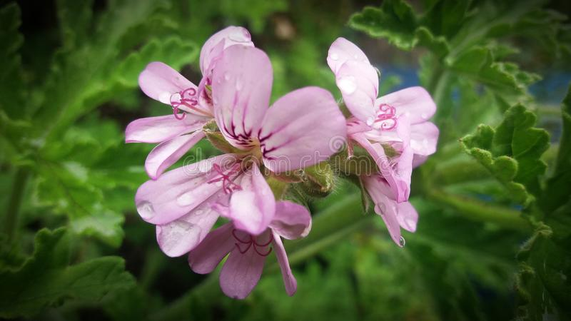 Pink rose scented Geranium flowers. royalty free stock photography
