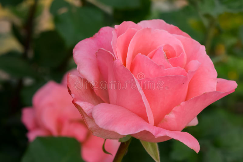 A pink rose. Signifies love and appreciation. Roses are best known as ornamental plants grown for their flowers in the garden and sometimes indoors stock images