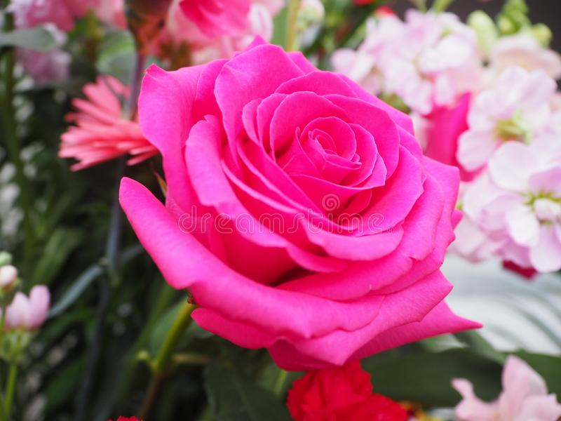 Pink Rose, Single Flower. A rose is a woody perennial flowering plant of the genus Rosa, in the family Rosaceae, or the flower it bears. There are over three stock photos