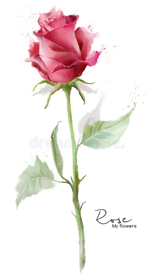 Pink rose and spray. Watercolor painting stock illustration