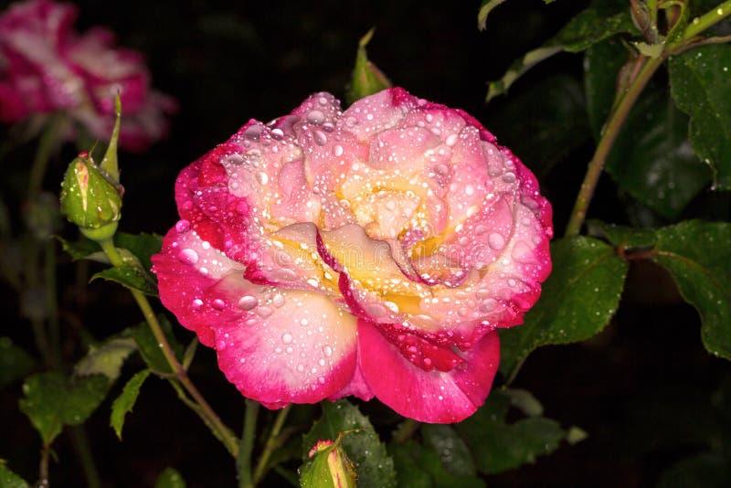 pink rose Steg i droppar av dagg royaltyfri fotografi